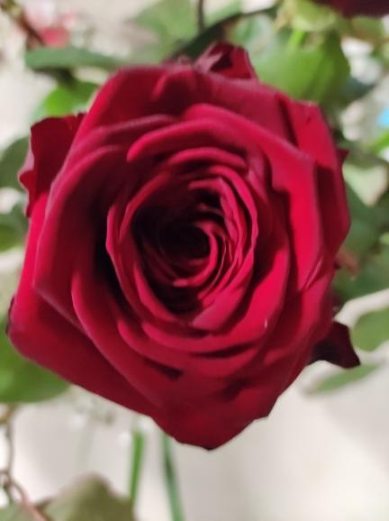 choix du nombre de roses poue faire un beau bouquet ,roses gros bouton d'une tige de 60cms